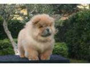 Puppyfinder com: Chow Chow puppies puppies for sale near me in