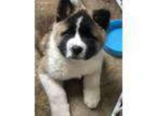 Puppyfinder com: Akita puppies for sale near me in Ohio, USA