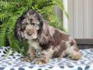 View Ad Cocker Spaniel Puppy For Sale North Carolina Summerfield Usa