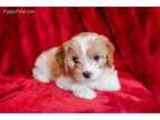 View Ad Cavapoo Puppy For Sale Near Massachusetts Springfield Usa