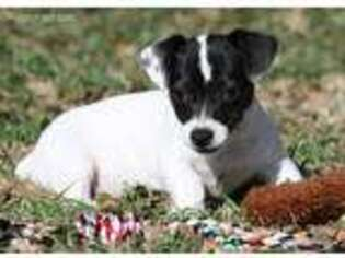 Jack Russell Terrier Puppy for sale in Henrietta, TX, USA