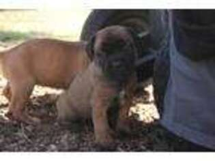 Cane Corso Puppy for sale in Holiday, FL, USA