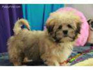 View Ad Lhasa Apso Puppy For Sale North Carolina Hickory Usa