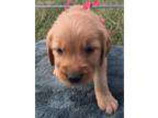 View Ad Golden Retriever Puppy For Sale Near Arkansas Hackett Usa