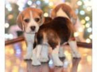 Beagle Rescue Dog In Massachusetts