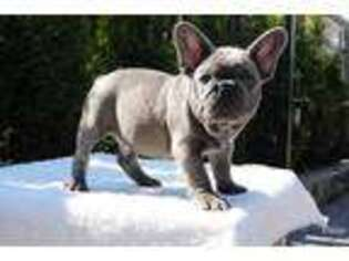 French Bulldog Puppy for sale in Hartford, CT, USA