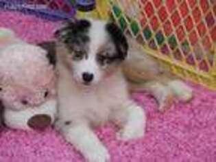 Australian Shepherd Puppy for sale in Rienzi, MS, USA
