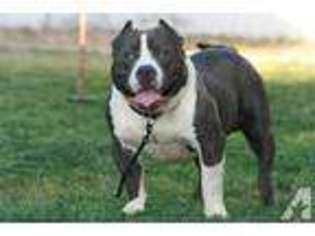 View Ad: American Pit Bull Terrier Puppy for Sale near Arizona