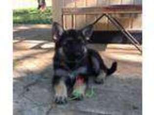 German Shepherd Dog Puppy for sale in Clinton Township, MI, USA