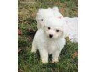 Puppyfinder Com Bichon Frise Puppies Puppies For Sale Near Me In Concord North Carolina Usa Page 1 Displays 10