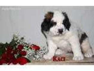 View Ad: Saint Bernard Puppy for Sale near Ohio, Elida, USA