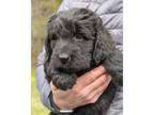 Newfoundland Puppy for sale in Dryden, VA, USA