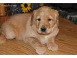 View Ad: Labradoodle Puppy for Sale, Illinois, Champaign, USA