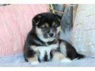 View Ad Shiba Inu Puppy For Sale Missouri Hughesville Usa