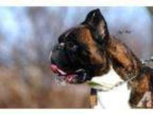 View Ad: Boxer Puppy for Sale near Texas, MCALLEN, USA  ADN