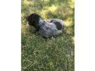 View Ad: Wirehaired Pointing Griffon Puppy for Sale, Idaho