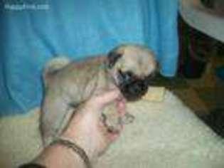 View Ad Pug Puppy For Sale North Carolina Burlington Usa