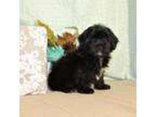 Puppyfinder com: Shih-Poo puppies for sale near me in Tucson