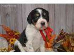 English Setter Puppy for sale in East Palestine, OH, USA