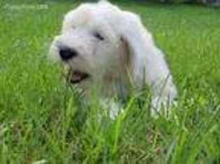 Puppyfinder com: Old English Sheepdog puppies for sale near
