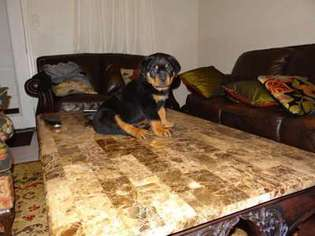 View Ad Rottweiler Puppy For Sale Texas Houston Usa