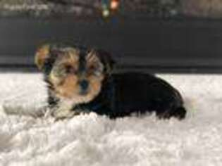Yorkshire Terrier Puppy for sale in Portland, OR, USA