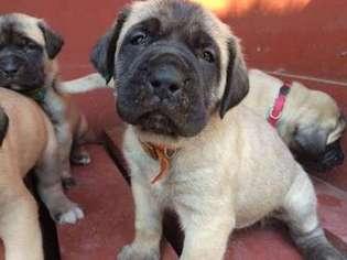 American mastiff puppies for sale in louisiana
