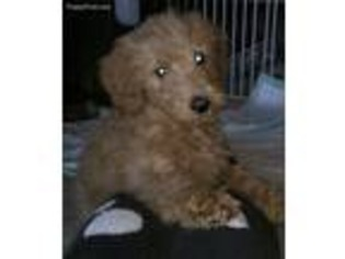 View Ad Goldendoodle Puppy For Sale New Jersey North Brunswick Usa