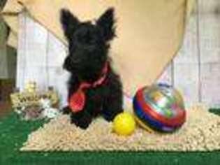 Scottish Terrier Puppy for sale in Millmont, PA, USA