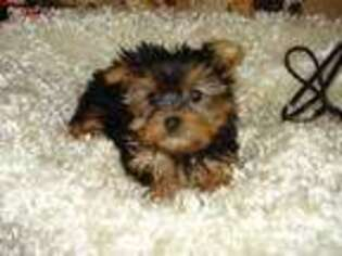 Yorkshire Terrier Puppy for sale in Elk River, MN, USA