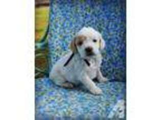 Puppyfinder com: Cock-A-Poo puppies for sale near me in