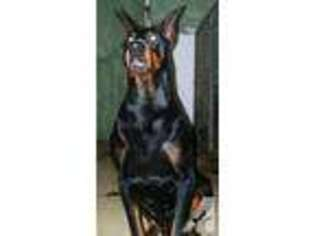 View Ad Doberman Pinscher Puppy For Sale Michigan Tecumseh Usa