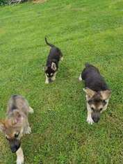 German Shepherd Dog Puppy for sale in Hillside, IL, USA