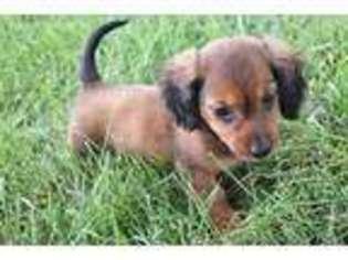 Puppyfinder com: Dachshund puppies for sale near me in Iowa