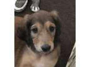 Puppyfinder com: Saluki puppies puppies for sale near me in