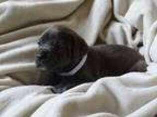 Cane Corso Puppy for sale in San Antonio, TX, USA