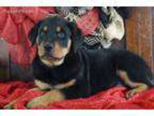 View Ad Rottweiler Puppy For Sale Missouri Lamar Usa