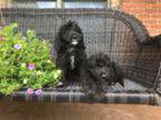 View Ad Labradoodle Puppy For Sale Near Indiana Alexandria