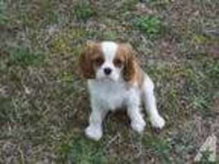 View Ad Cavalier King Charles Spaniel Puppy For Sale Near Georgia