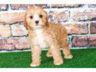 Cavapoo Puppy for sale in Baltimore, MD, USA