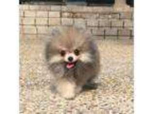 View Ad Pomeranian Puppy For Sale Texas Dallas Usa