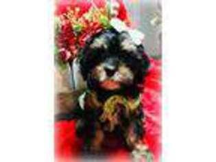 Puppyfinder com: Cavapoo puppies puppies for sale near me in