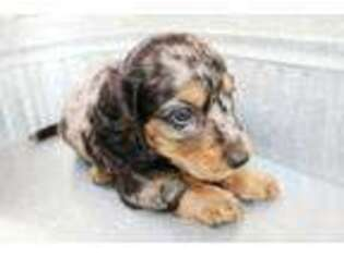 Dachshund Dogs For Sale In Maine