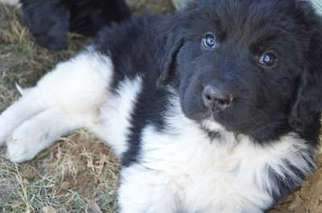 View Ad Newfoundland Puppy For Sale Near Virginia Luray Usa Adn