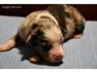 Australian Shepherd Puppy for sale in Hillsdale, IL, USA