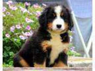 Puppyfindercom Bernese Mountain Dog Puppies For Sale Near
