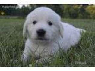 Puppyfindercom Golden Retriever Puppies Puppies For Sale
