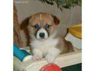 Pembroke Welsh Corgi Puppy for sale in Corsica, SD, USA