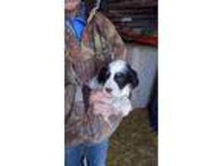 English Setter Puppy for sale in Florence, SD, USA
