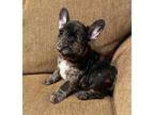 French Bulldog Puppy for sale in Pascoag, RI, USA